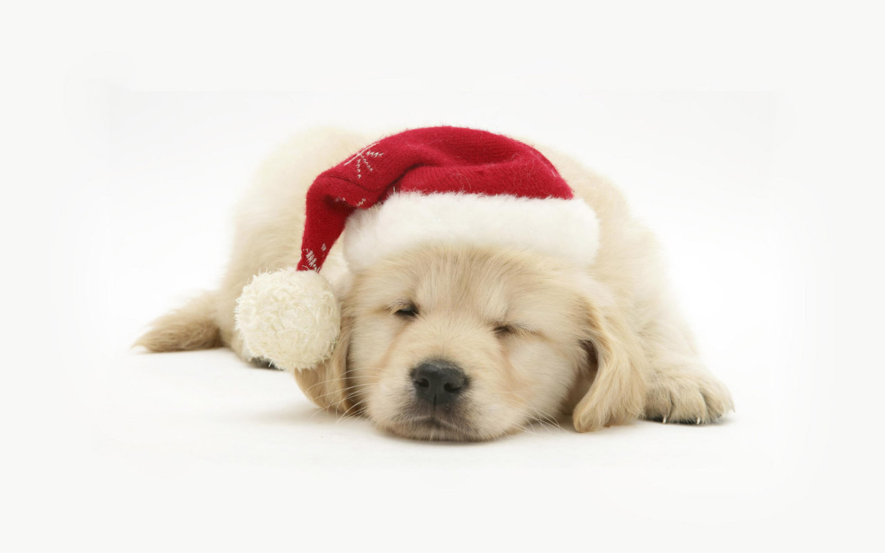 Dogs Christmas Pets Hd Wallpapers